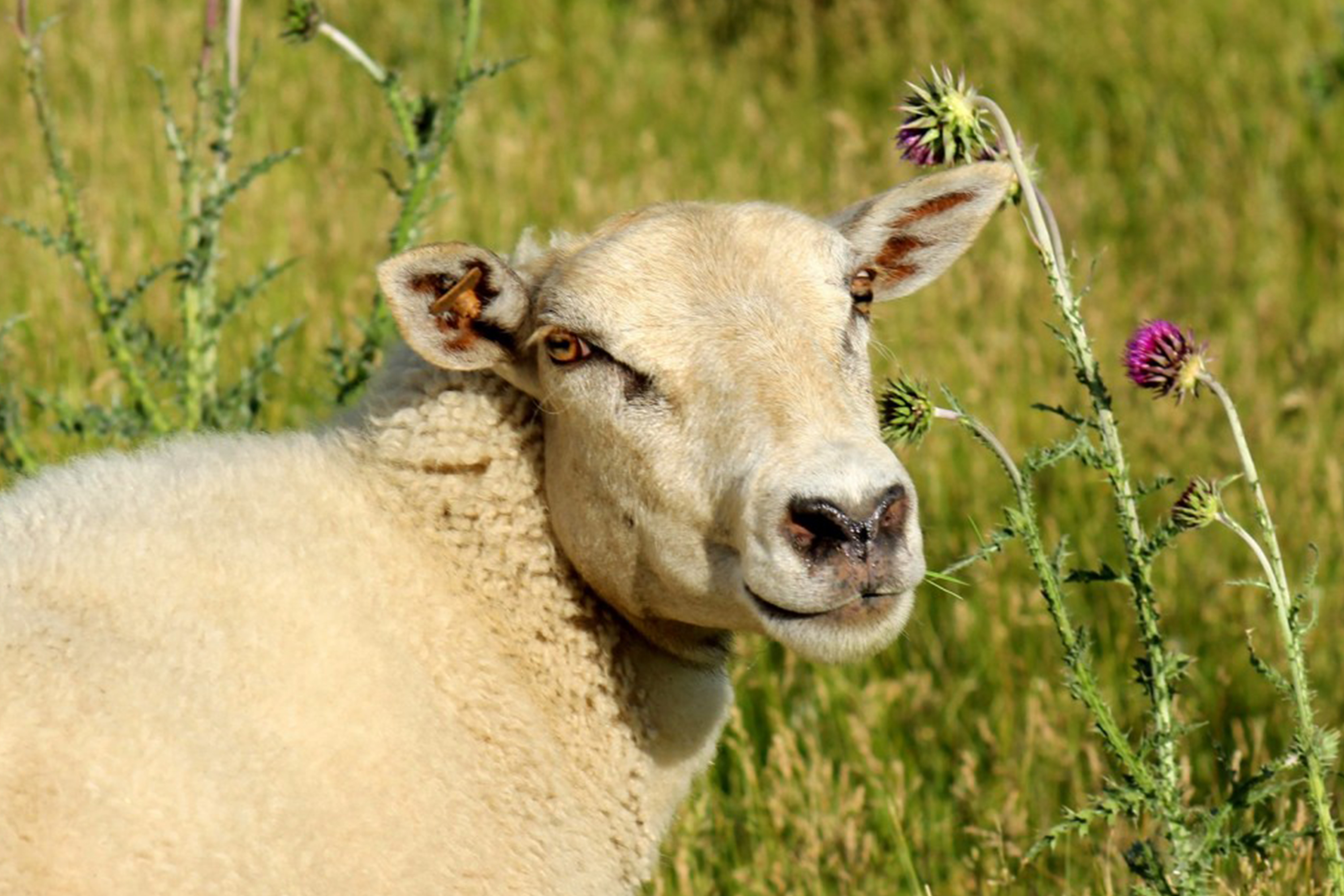 Foreside Acres Sheep Sunny